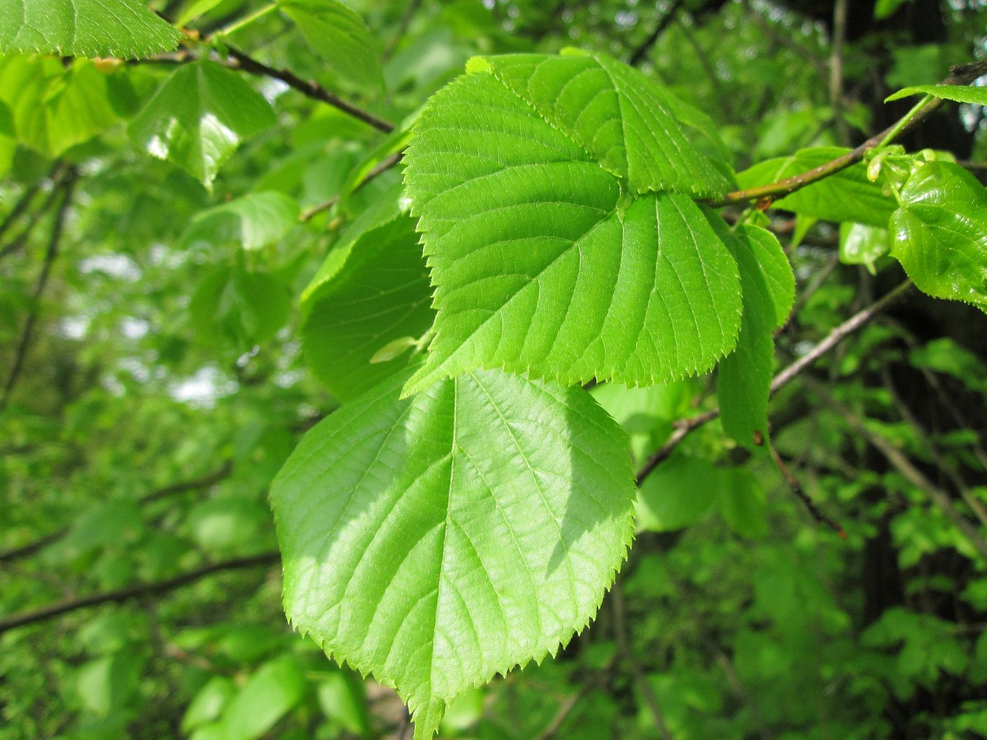 Elm Tree Leaves